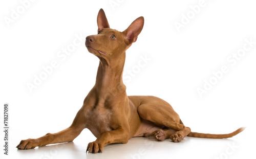 pharaoh hound puppy Fototapeta