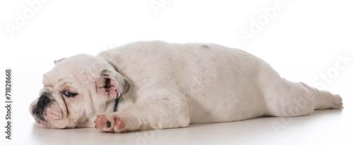 Photo tired puppy