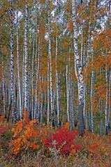 Fototapeta Brzoza Autumn birch grove