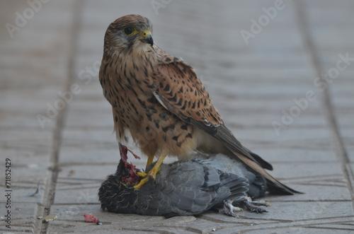 Fényképezés  brutalité de faucon