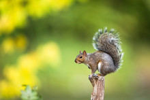Eastern Grey Squirrel (Sciurus...