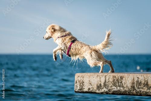 Fotografie, Tablou Golden Retriever dog jumping into sea