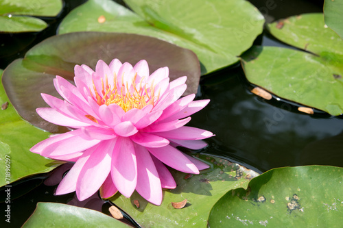Wall Murals Water lilies Thai lotus in pond