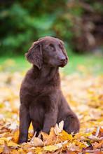 Flat Coated Retriever Puppy In Autumn