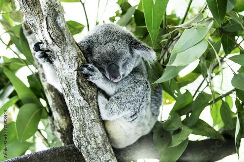 Staande foto Koala Cute Koala on the tree