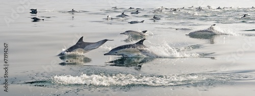 Valokuva  Group of dolphins, swimming in the ocean