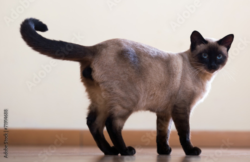 Fotografie, Obraz Standing young adult siamese cat