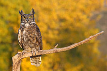 Great Horned Owl Sitting On A ...