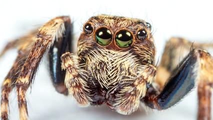 skaczący pająk