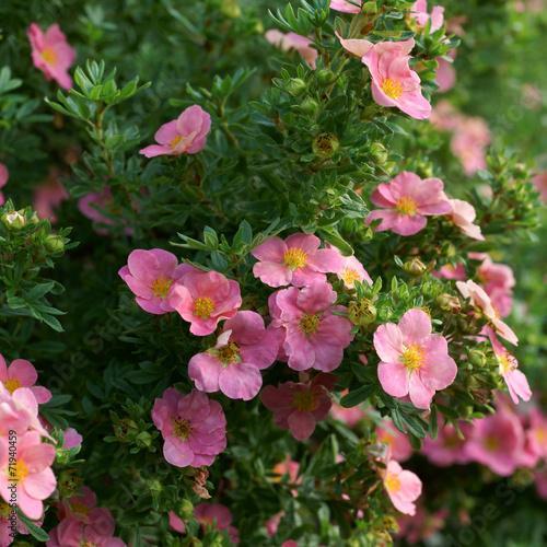 Fotografia, Obraz  Potentilla fruticosa Pink Beauty  - cinquefoils