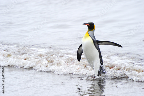 Photo King Penguin (Aptenodytes patagonicus) coming out the water