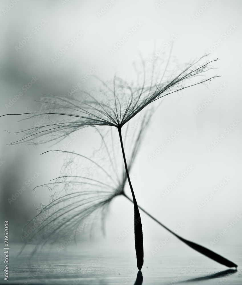 Fototapety, obrazy: Wet dandelion on white, shiny surface with small droplets
