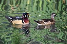 Pair Of Wood Ducks Swimming In...