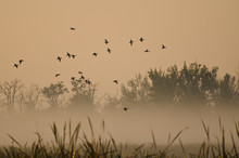 Early Morning Flight Of Ducks Above Foggy Marsh