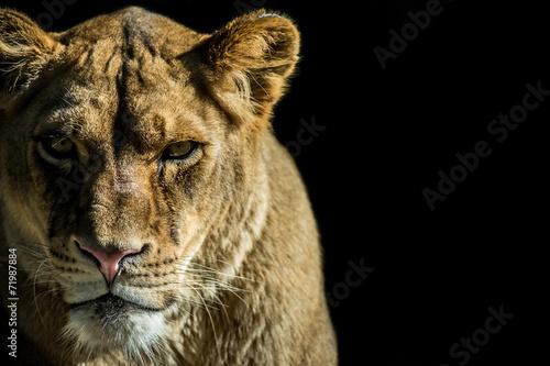 Obraz na plátne leonessa - animale selvaggio su sfondo nero con spazio testo