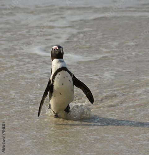 Tuinposter Pinguin African penguin