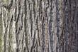 canvas print picture - Lindenbaum; Stamm, Rinde; Tilia;