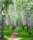 Droga w letnim gaju brzozowym - 72008016