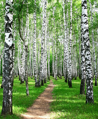 FototapetaPathway in the summer birch grove