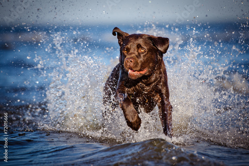 labrador running in the water Canvas Print