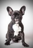Fototapeta Dogs - portrait of baby French bulldog