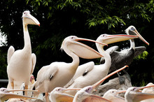 A Group Of Pelicans