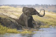 Wild African Elephant Bull Mud...