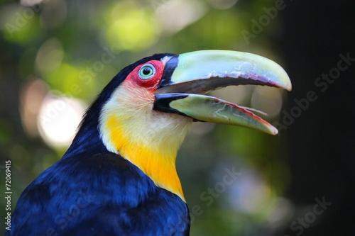 tukan-w-brazylii-ramphastos-dicolorus-tukan-zapowiadany-na-zielono