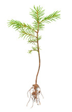 Pine Sprout With Root On White Background
