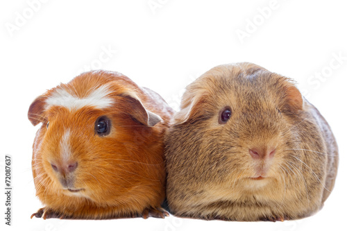 Fotografía  Two guinea pigs isolated on white