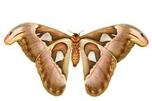 Female Attacus Atlas Moth