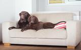 Dwa psy na sofie
