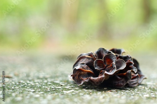 ear mushroom growing in the forest (Auricularia auricula-judae). Canvas Print