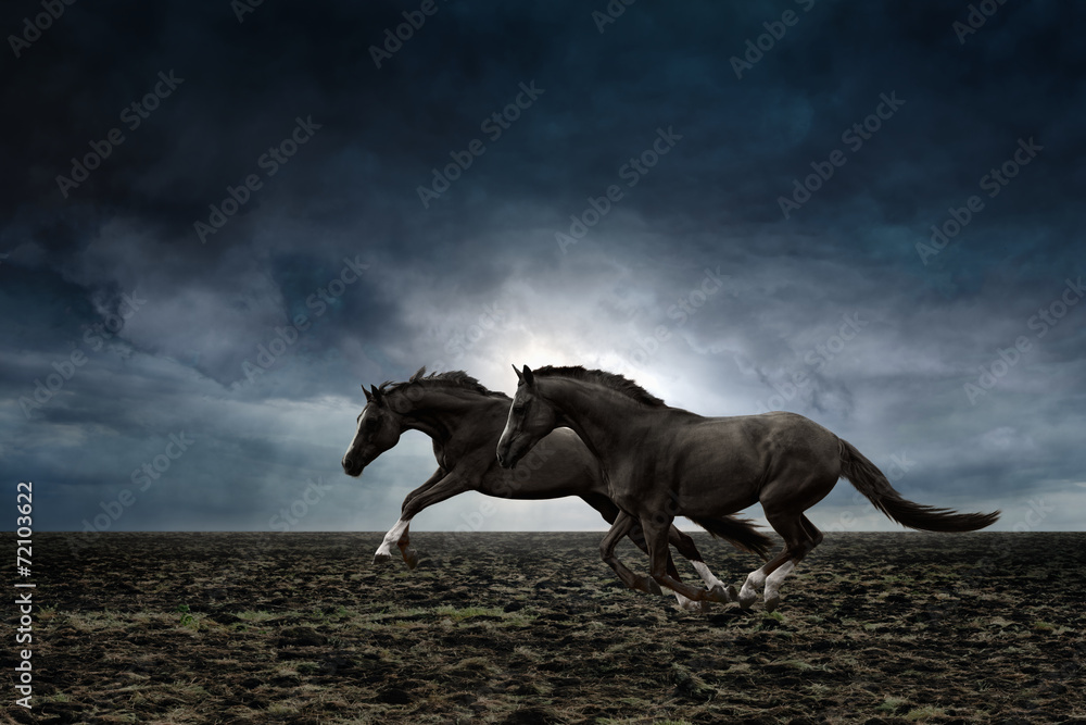 Fototapety, obrazy: Two black horses