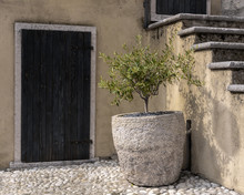 Small Olive Tree In Stone Pot ...