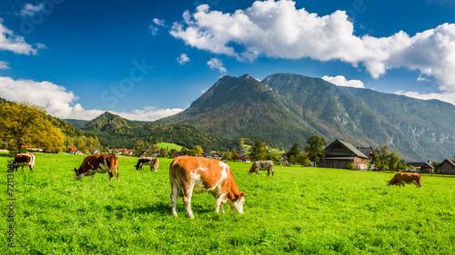 Spoed Fotobehang Schotse Hooglander Herd of cows grazing in Alps