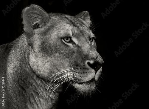 Foto op Plexiglas Leeuw arrogant lioness