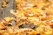 落ち葉とエゾシマリス