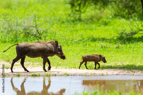 Photo  Warthogs by a water