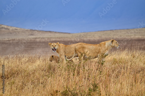 Staande foto Afrika Two lionesses with young