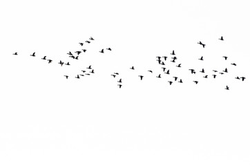 Flock of Ducks Silhouetted Against a White Background