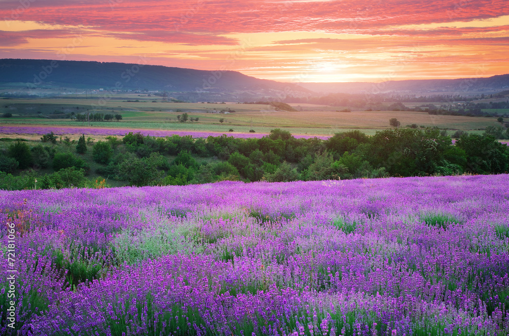 Fototapety, obrazy: Meadow of lavender
