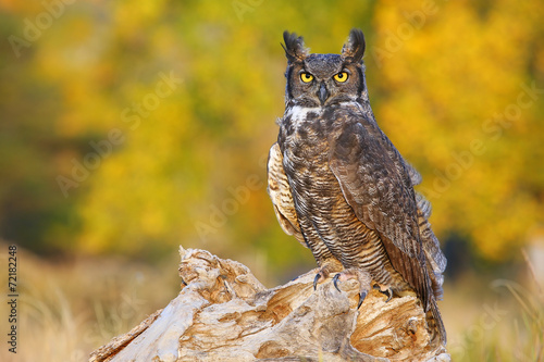 Spoed Foto op Canvas Uil Great horned owl sitting on a stump
