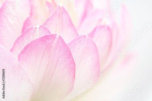 Garden Poster Lotus flower Lotus petals