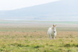Horizontal view of Icelandic horse in the Pasture