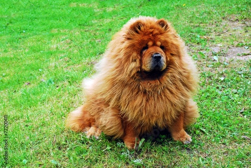 Fototapeta Red chow chow dog on a green grass obraz na płótnie