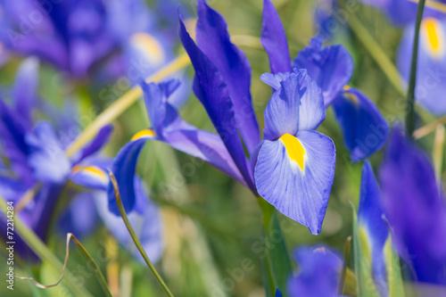 Spoed Foto op Canvas Iris Iris Blue magic