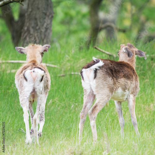 Poster Hert Two young roe deer