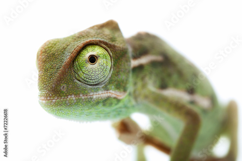 Spoed Foto op Canvas Kameleon Beautiful baby chameleon as exotic pet, narrow focus on eyes