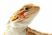 Pet Lizard Bearded Dragon Isol...